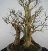 Bonsai Lagerstroemie, Lagerstroemia, nr. 5864
