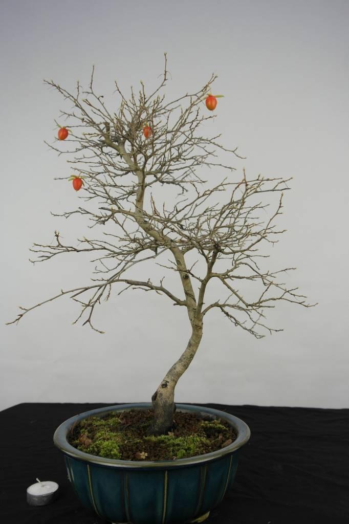Bonsai Diospyros kaki, Lotus kaki, no. 5576