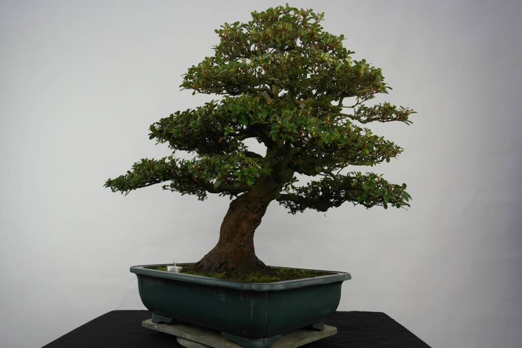 Bonsai Azalea Satsuki Kaho, no. 5193