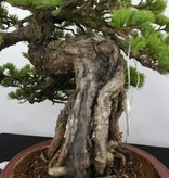Bonsai White pine, Pinus parviflora, no. 5894