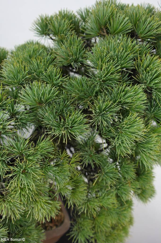 Bonsai Pin blanc du Japon, Pinus parviflora, no. 5895