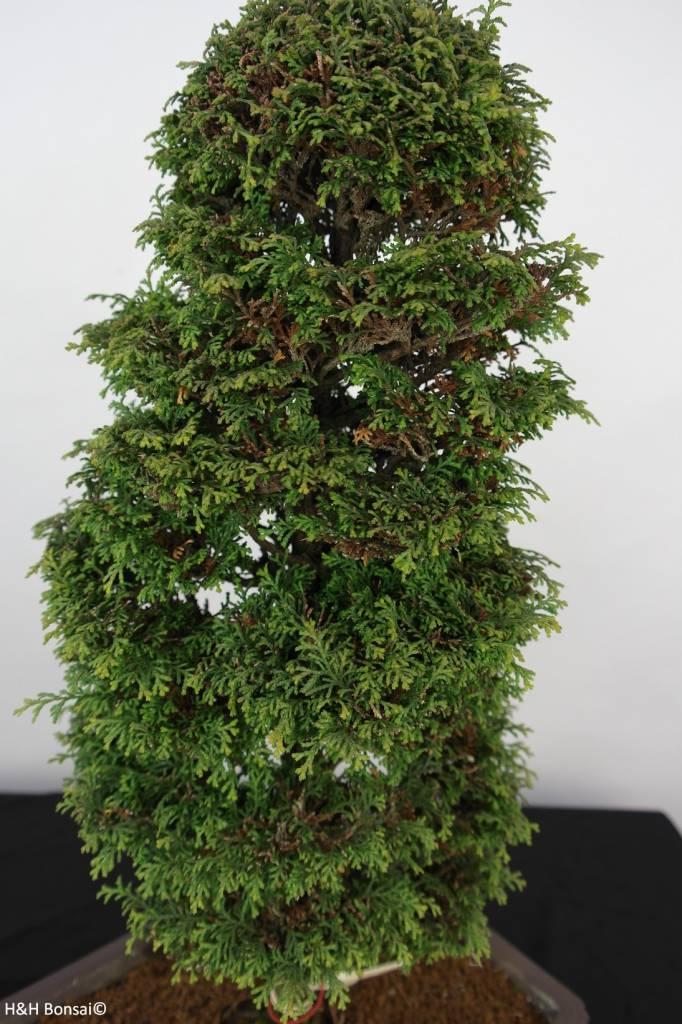 Bonsai Cyprès, Chamaecyparis sp. , no. 5897