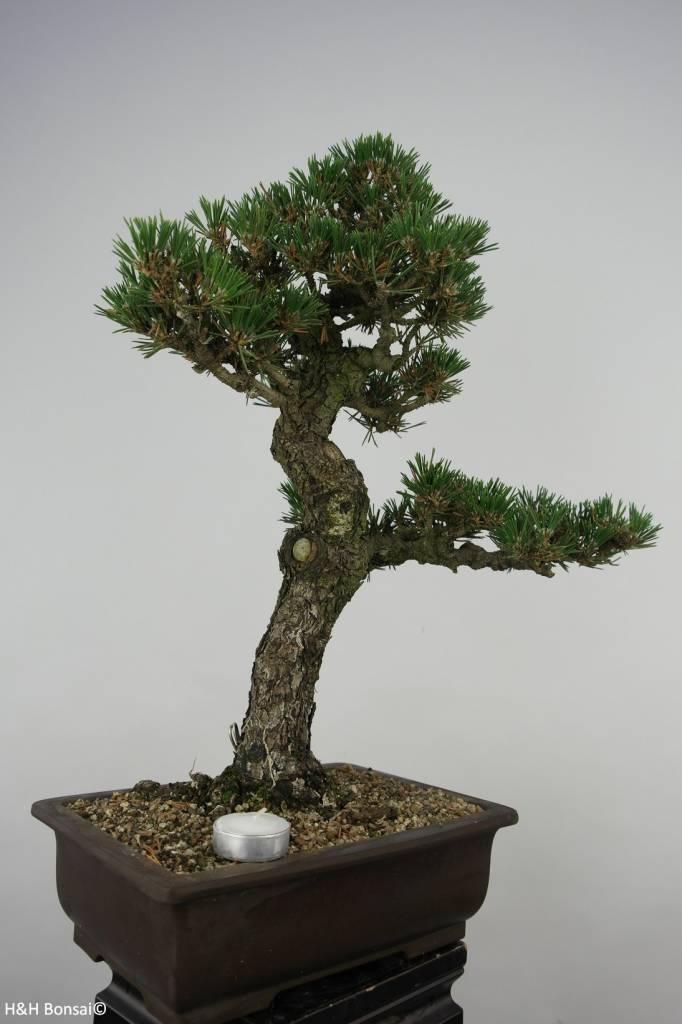 Bonsai Pin noir du Japon kotobuki, Pinus thunbergii kotobuki, no. 5907