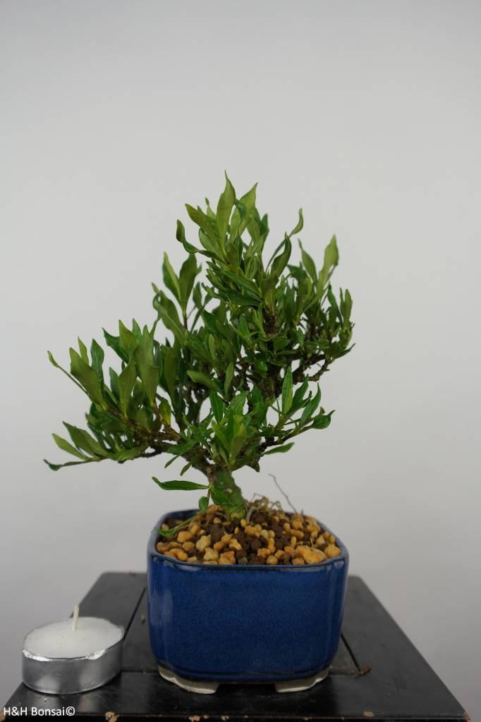 Bonsai Shohin Gardenia, no. 5961