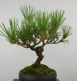 Bonsai Shohin Japanese Black Pine, Pinus thunbergii, no. 6000