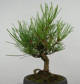 Bonsai Shohin Pin noir du Japon, Pinus thunbergii, no. 6001