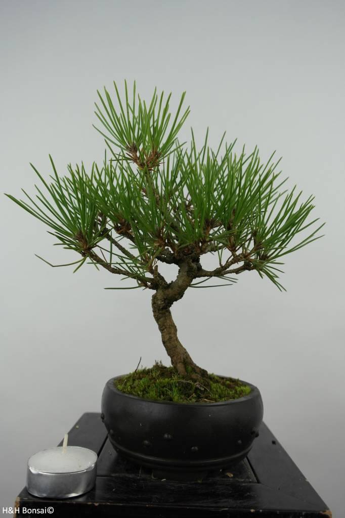 Bonsai Shohin Japanese Black Pine, Pinus thunbergii, no. 6006