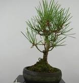 Bonsai Shohin Pin noir du Japon, Pinus thunbergii, no. 6011
