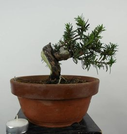 Bonsai L'If du Japon, Taxus cuspidata, no. 6016