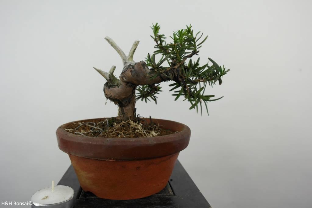 Bonsai L'If du Japon, Taxus cuspidata, no. 6018