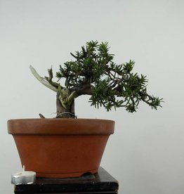 Bonsai L'If du Japon, Taxus cuspidata, no. 6019