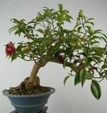 Bonsai Camellia japonica, no. 6020