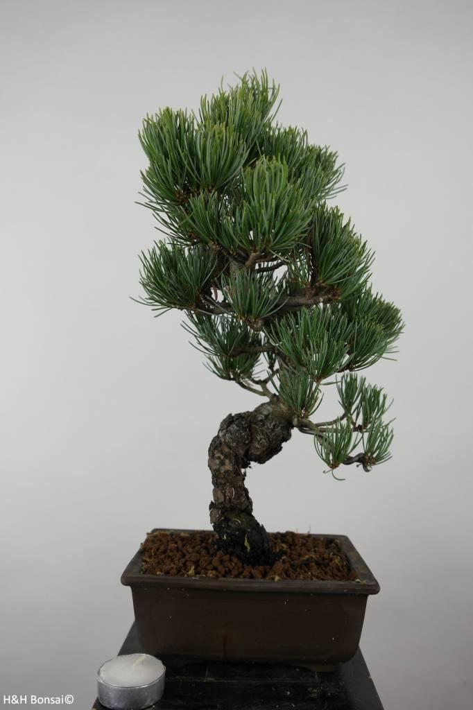 Bonsai Pin blanc du Japon, Pinus parviflora, no. 6044