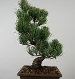 Bonsai White pine, Pinus parviflora, no. 6054
