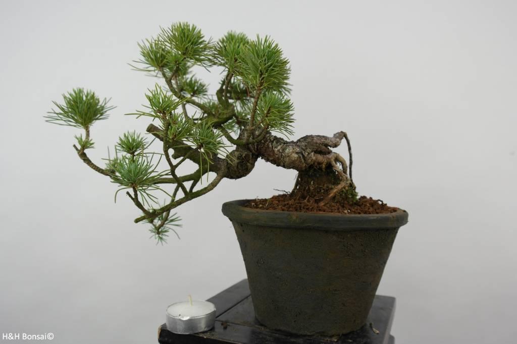 Bonsai Shohin White pine, Pinus parviflora, no. 6089