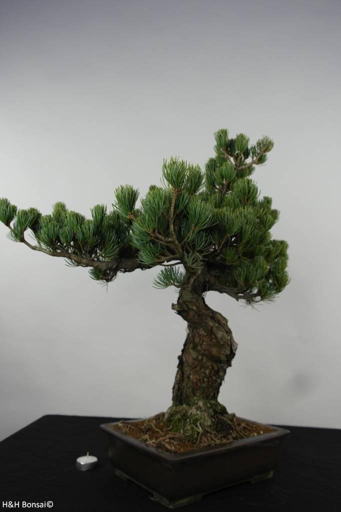Bonsai Pin blanc du Japon, Pinus parviflora, no. 6156