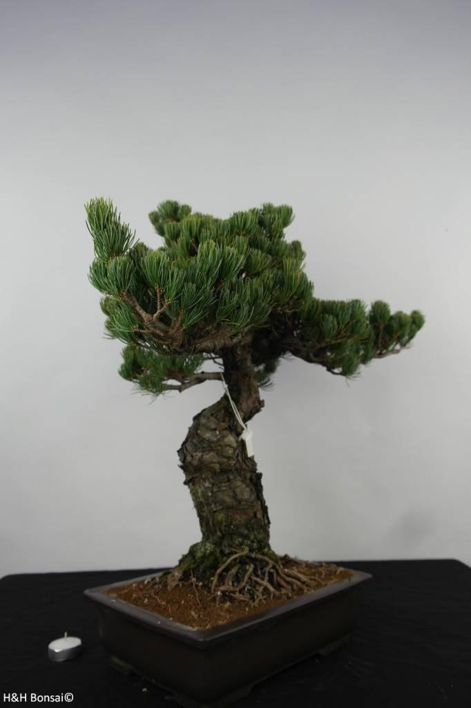 Bonsai White pine, Pinus parviflora, no. 6156