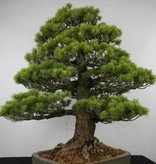 Bonsai Pin blanc du Japon, Pinus parviflora, no. 6176
