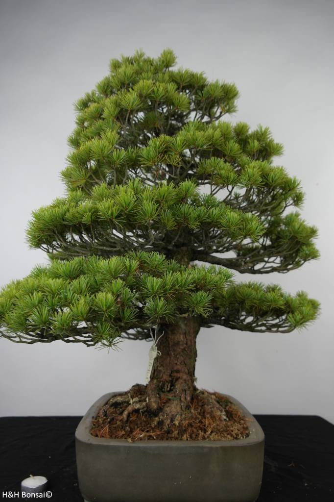 Bonsai White pine, Pinus parviflora, no. 6176