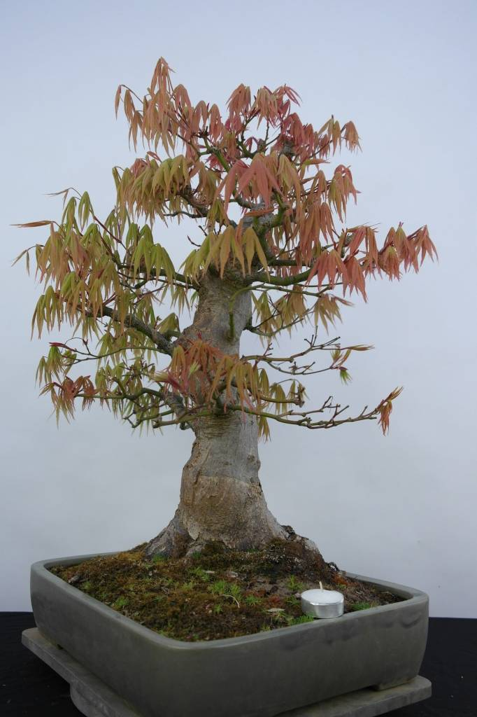 Bonsai Japanese maple, Acer palmatum, no. 5805