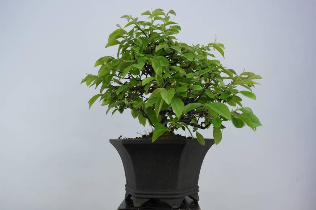 Bonsai Quince, Cydonia oblonga, no. 5661