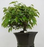 Bonsai Quince, Cydonia oblonga, no. 5662