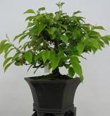 Bonsai Quince, Cydonia oblonga, no. 5665