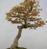 Bonsai Japanese maple, Acer palmatum, no. 5806