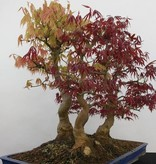 Bonsai Japanese maple, Acer palmatum, no. 5850