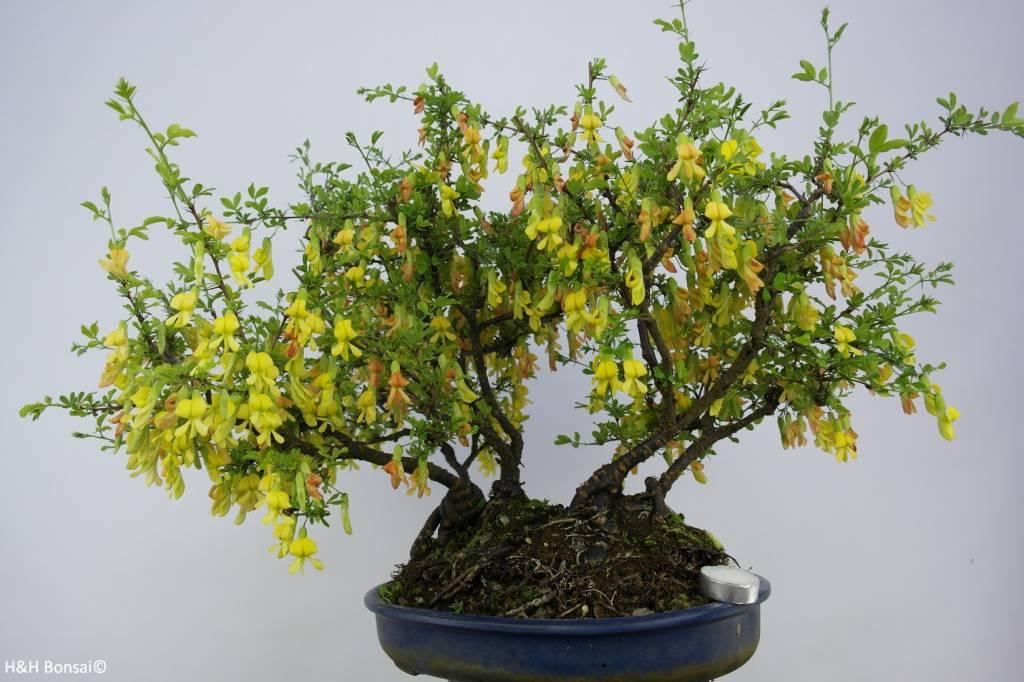 Bonsai Caraganier de Sibérie, Caragana sp., groupe, no. 6403