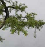 Bonsai Needle Jupiner, Juniperus rigida, no. 5416