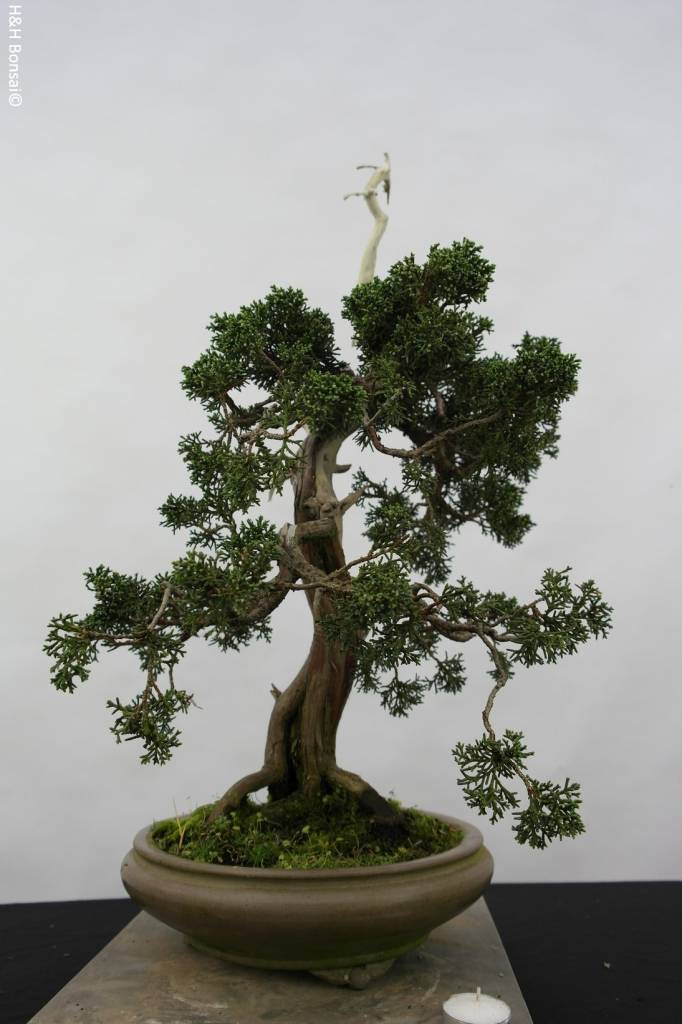 Bonsai Chinese Juniper, Juniperus chinensis, no. 5799