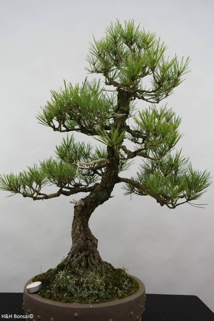 Bonsai Pin noir du Japon, Pinus thunbergii, no. 6431