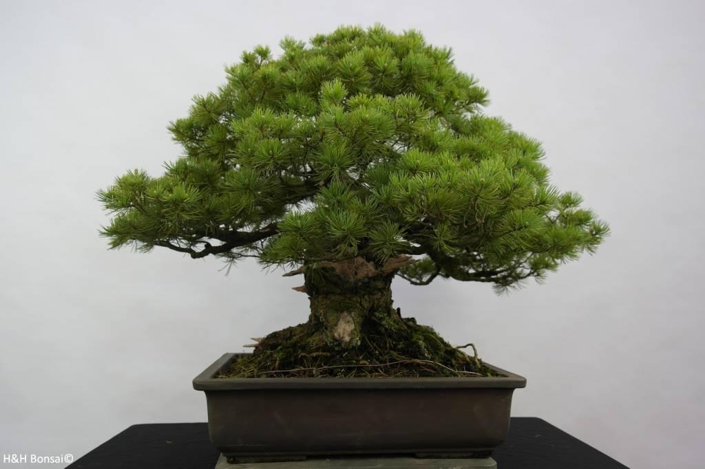 Bonsai White pine azuma, Pinus parviflora azuma, no. 6440