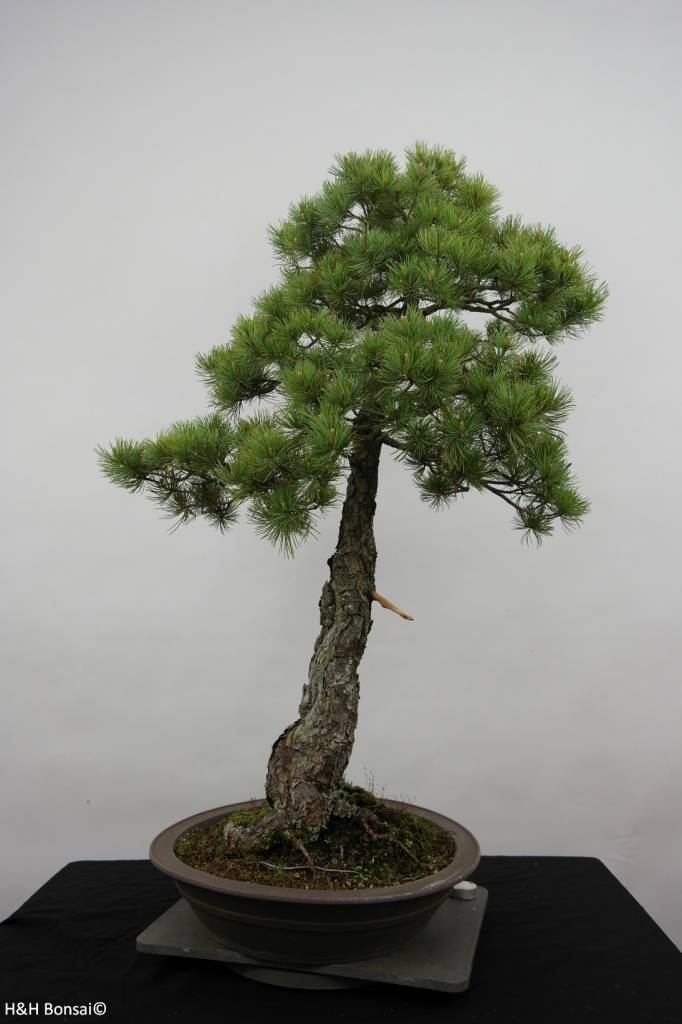 Bonsai Japanese White Pine, Pinus pentaphylla, no. 6455