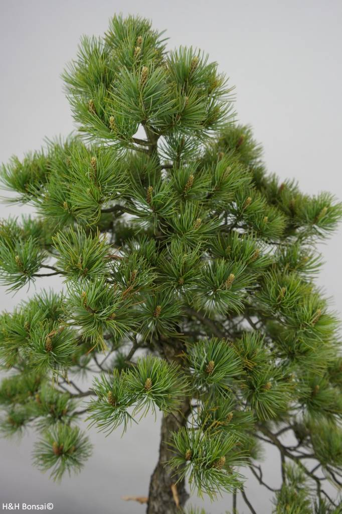 Bonsai Pin blanc du Japon, Pinus pentaphylla, no. 6455