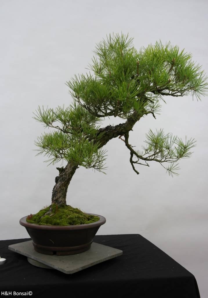 Bonsai Pin rouge du Japon, Pinus densiflora, no. 6460