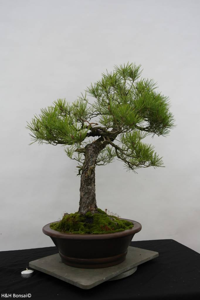 Bonsai Japanese Red Pine, Pinus densiflora, no. 6460