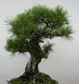 Bonsai Pin noir du Japon, Pinus thunbergii, no. 6464