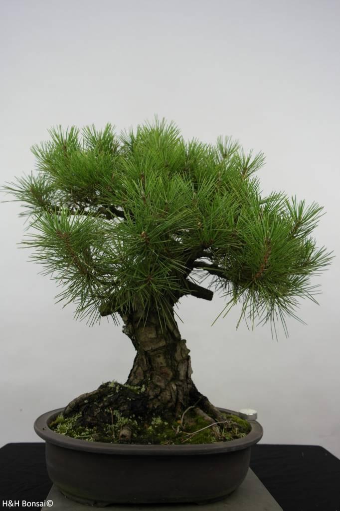 Bonsai Pin noir du Japon, Pinus thunbergii, no. 6464