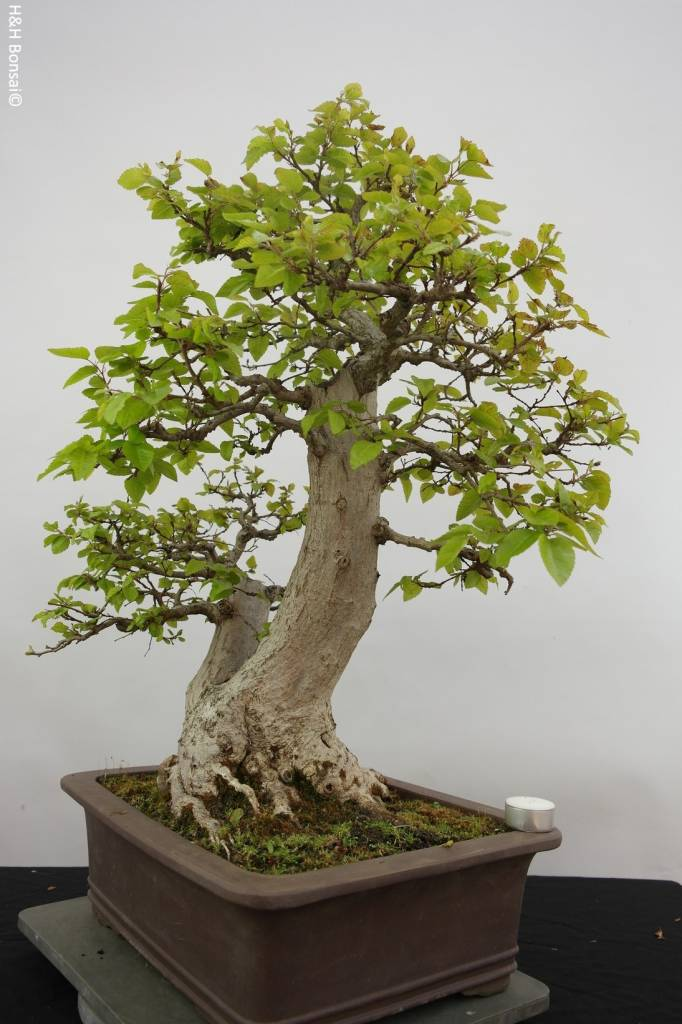 Bonsai Korean Hornbeam, Carpinus coreana, no. 5886