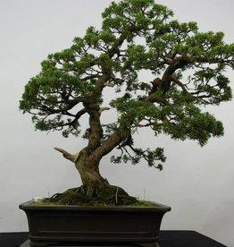 Bonsai Chinese Juniper, Juniperus chinensis, no. 6479