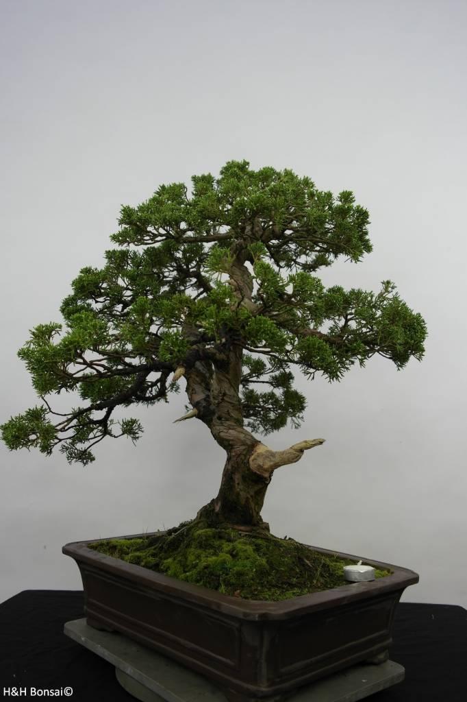 Bonsai Genévrier de Chine, Juniperus chinensis, no. 6479