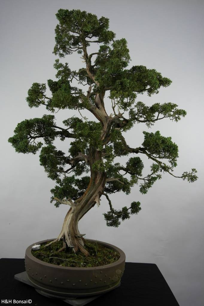 Bonsai Genévrier de Chine, Juniperus chinensis, no. 6492