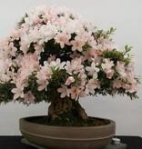 Bonsai Azalée du Japon, Azalea Satsuki Kozan, no. 5294