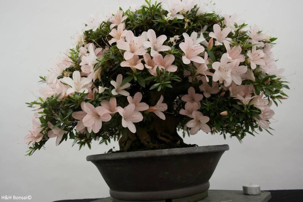 Bonsai Azalea Satsuki Kozan, no. 5190