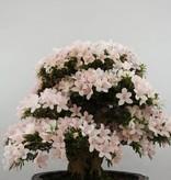 Bonsai Azalée du Japon, Azalea SatsukiKozan, no. 5700