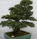 Bonsai Azalée du Japon, Azalea Satsuki Usuji Gyoten, no. 5880