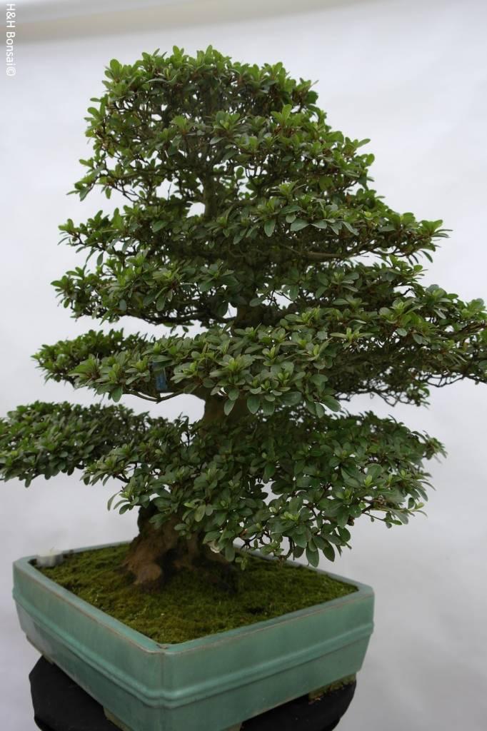Bonsai Azalea Satsuki Usuji Gyoten, no. 5880
