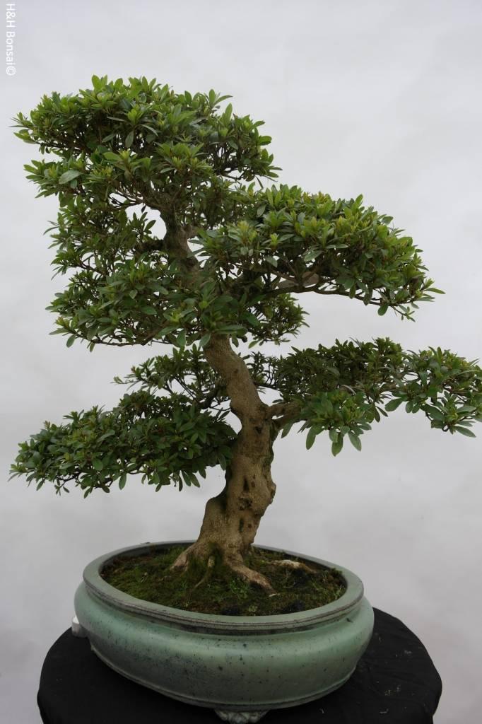 Bonsai Azalée du Japon, Azalea Satsuki Akane, no. 5876